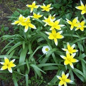 miniaturowe tulipanki