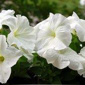 Petunia biała