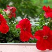 Petunia czerwona