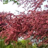 Pięknie kwitnące drzewo.
