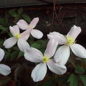 Powojnik - pierwsze kwitnienia