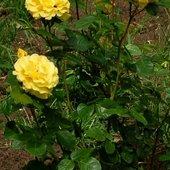 Róże dla Pań
