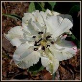 Tulipan biały