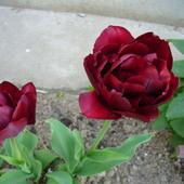 Tulipan czy róża