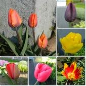 Tulipany z mojego ogrodu-pozdrawiam.