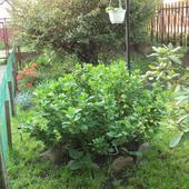 Zieloniutka Hortensja