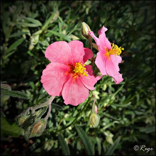 Posłonek wielokwiatowy (Halianthemum nummularium)