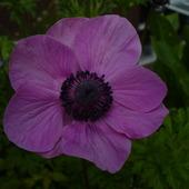 anemonek