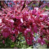 Judaszowiec wschodni (Cercis siliquastrum)
