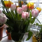 Kolorowe tulipany dla wszystkich.