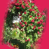 Krzew pnącej róży