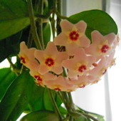 kwiat hoi