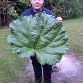 największy liść rabarbaru znaleziony w tym roku. :)