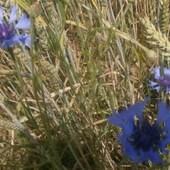 Niebieskie kwiatuszki w zbożu