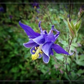 Orlik pospolity (Aquilegia vulgaris)