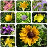 Orliki i słoneczne kwiaty