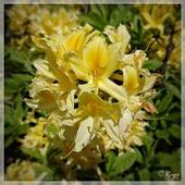 Różanecznik żółty, różanecznik pontyjski, azalia pontyjska (Rhododendron luteum)