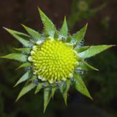 Supernowa, zielona gwiazdka:)