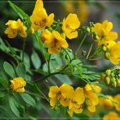 Cassia (Senna) bicapsularis - Butterfly Bush