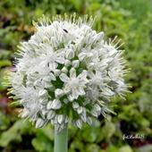 CEBULA-kwiat