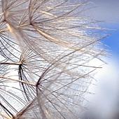 Kozibród łąkowy...w puszystym stadium...