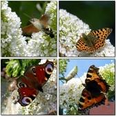Motyle na kwiatach budlei