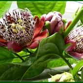 Passiflora alata...