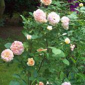 pięknie pachnące różyczki