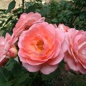 Róża Amelia :)