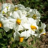 Ziemniak-kwiaty