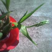 Zygopetalum (storczyk) ma pączki kwiatowe