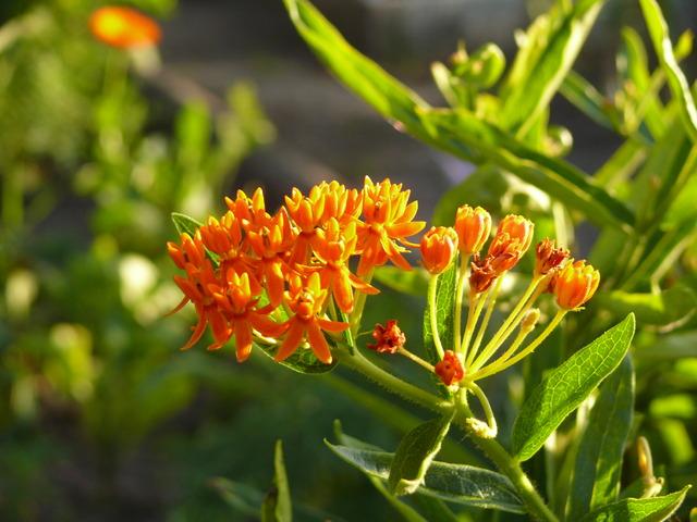 Trojeść pomarańczowa