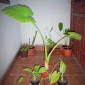 Alocasia macrorrhiza
