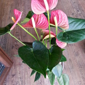 Anturium różowe. :)