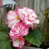 Begonia.