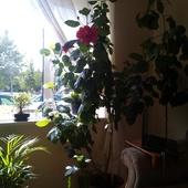 cytryna,hibiskus