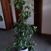 Ficus Beniamin. ;)