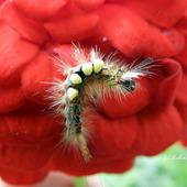 Gąsienica Znamionówki