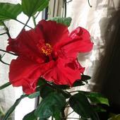Hibiskus, ketmia, róża chińska