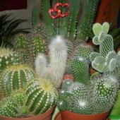 Kaktusiany mix