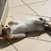 Kot chorwacki