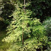 Metasekwoja chińska (Metasequoia glyptostroboides)