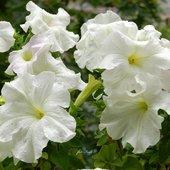 petunie białe