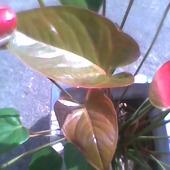 Rosną nowe liście  anturium
