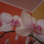 storczyk biały z różowymi akcentami