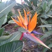 Strelicja, Rajski Ptak