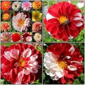 Dalie-kwiaty późnego lata