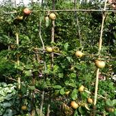 Formowanie i cięcie jabłoni