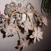 Graptoveria -Graptopetalum paraguayense