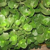 Gruboszowata roślinka